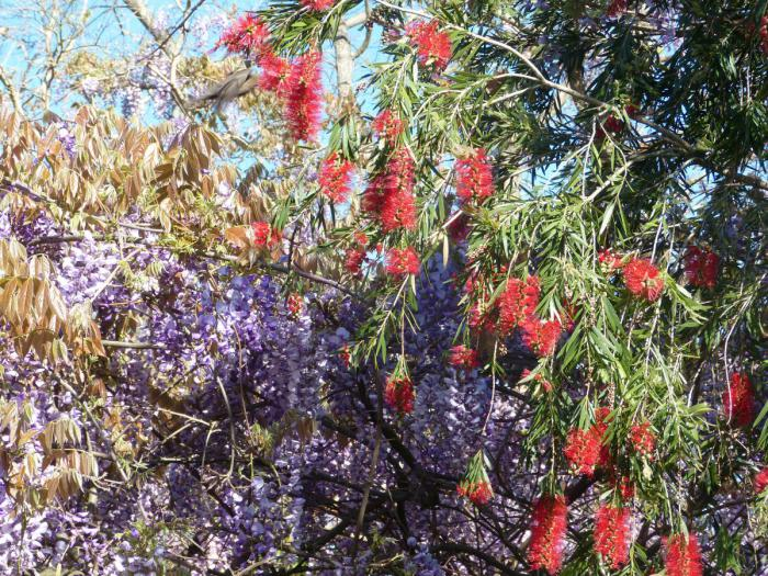 Wisteria and Pohutukawa at the aviary