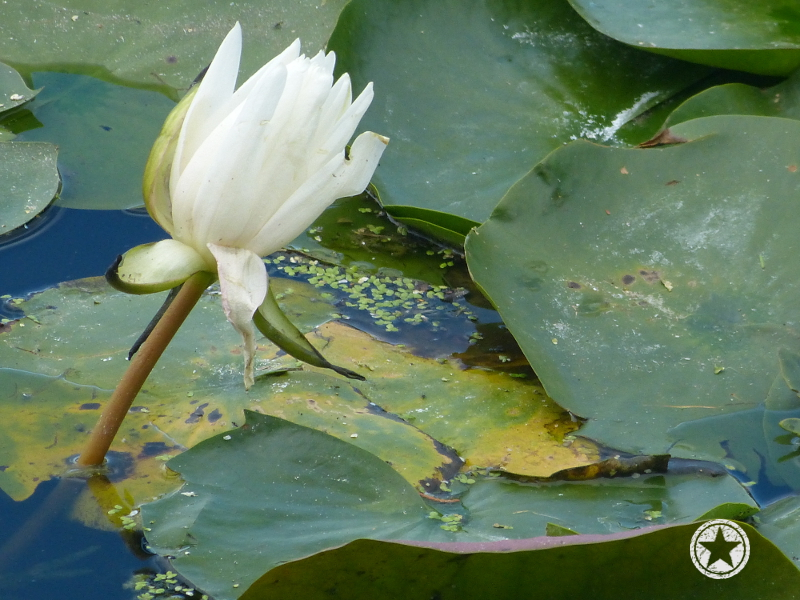 One of the very few lilies in the Craggy Range pond