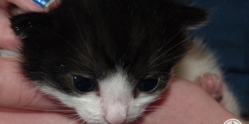 Black and white female kitten that we hand-fed